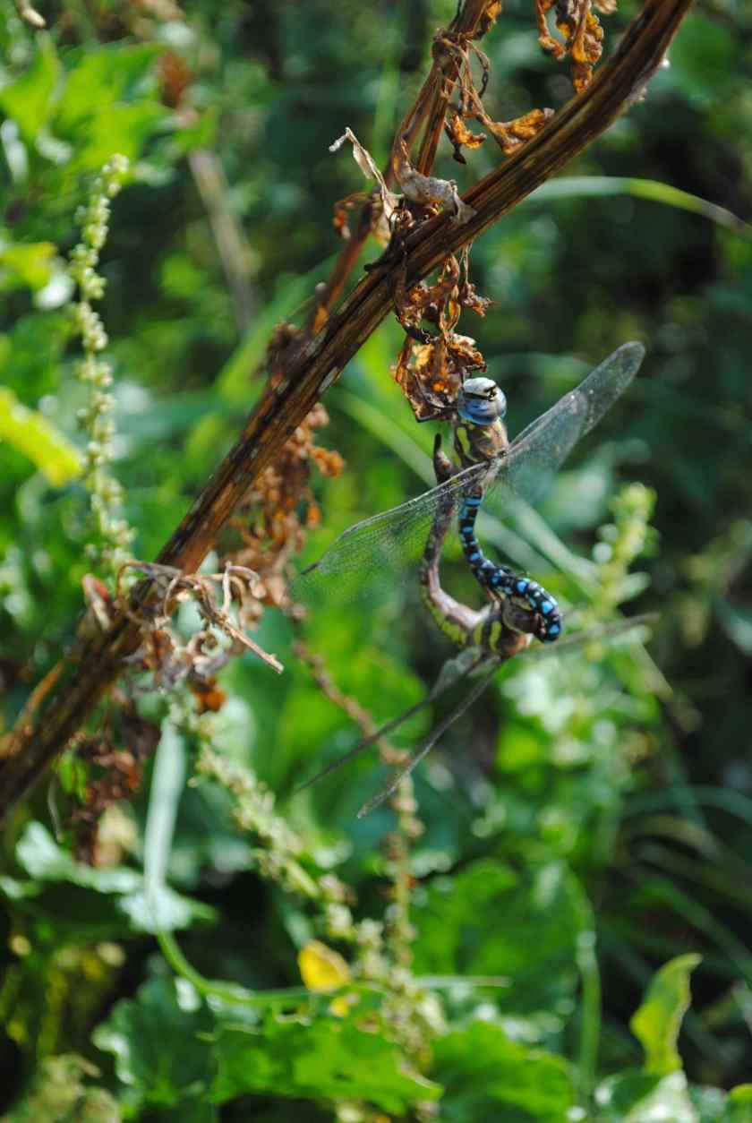 dragonflies mating wheel