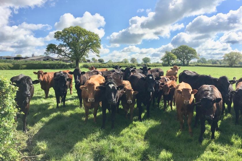 Addington cows